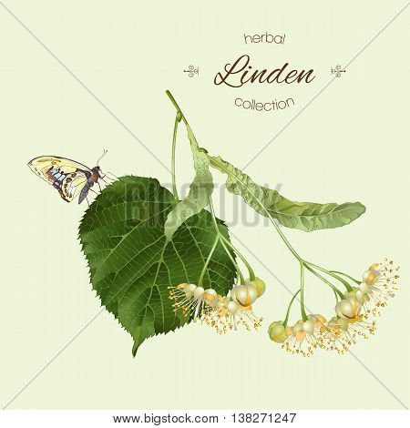 Vector realistic illustration of linden branch with butterfly. Isolated on light green background. Design for tea,essential oil, natural cosmetics, aromatherapy.Can be used as summer disign element.