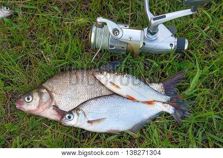 Several Common Bream Fish, Roach Fish And Silver Bream Or White Bream Fish On Green Grass. Catching
