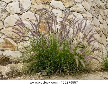 Pennisetum ornamental grass with feathery inflorescences in the form spikelets about the stone wall in Old City of Jerusalem Israel