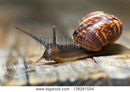 Small snail crawling on an old wooden surface poster