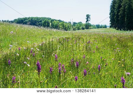 Meadow With Wild Dactylorhiza Orchids