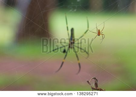 Golden Silk Orb Weaving Spider