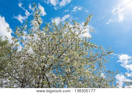 Branches of the apple tree at spring sunny day time.