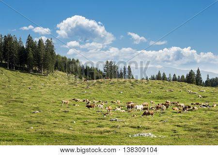 Cows are eating grass on a mountain.