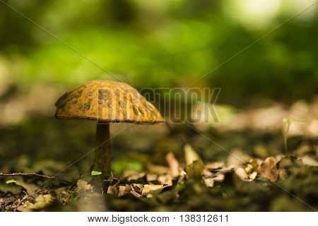 A lonley small mushroom in the forest