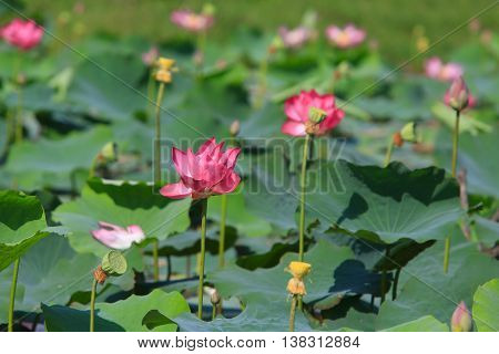Lotus flower and Lotus flower plants in Lake