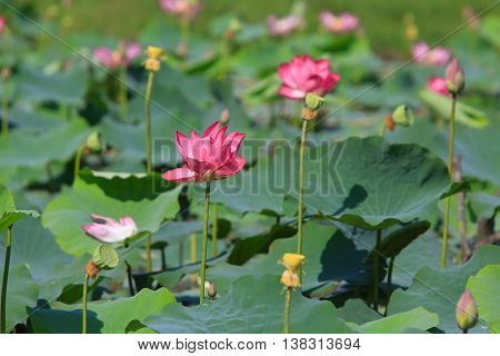 Lotus flower and Lotus flower plants in Lake