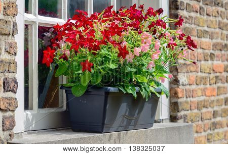 Pink and red blooming petunia plants in a dark gray flowerbox.