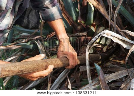 A man work in tequila industry production agriculture