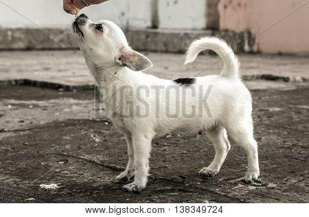 Chihuahua puppy training. girl feeding a puppy.