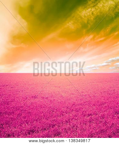 magenta wheat field  and sky landscape