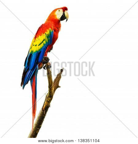 Scarlet macaw bird sitting on tree branch, isolated on white background.