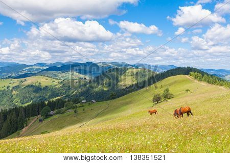 Brown horses on the flower mountain lawn