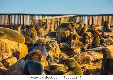Wooden walkways for tourists. Reserve fur seals in Namibia, Cape Cross colony