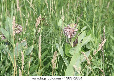 Common Milkweed plant (Asclepias syriaca), with blooming flowers that are pinkish-purple clusters which often droop, Milkweed flowers usually bloom from June to August, in a field along a country road.