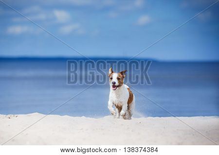 Jack Russell Terrier Walking, Playing On The Beach In Summer