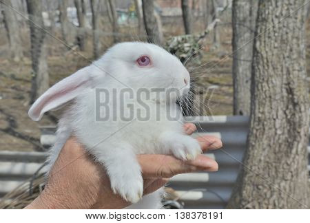 A close up of the young white rabbit on hands.