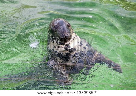 A head of the seal in the water