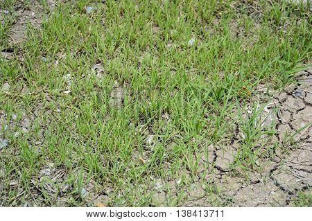 fresh green grass on dry crack soil