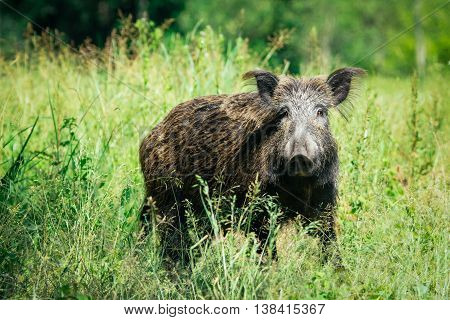 Old wild boar on the green grass