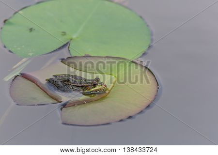 Green frog (rana) sitting on a green leave in water