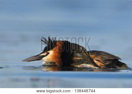 water bird on the lake in spring (podiceps cristatus)