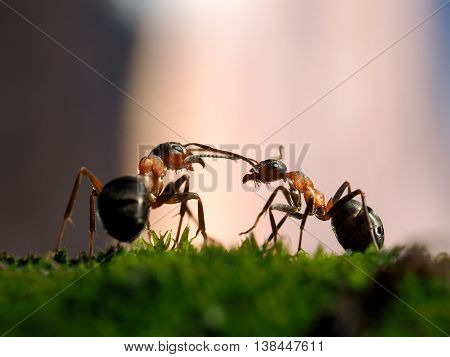 Great ants communicate with each other against the backdrop of pink sunset