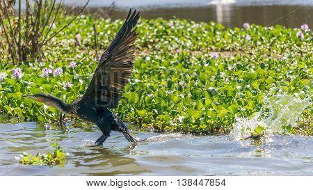 Great Black Cormorant On Naivasha Lake.