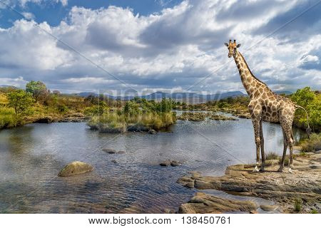 Picturesque shot of a giraffe standing at the river bank.