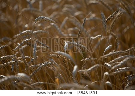 Spikelet, Spikelets Of Wheat In A Field Texture Agriculture