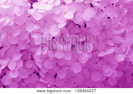 texture and background with gently purple flowers hydrangea