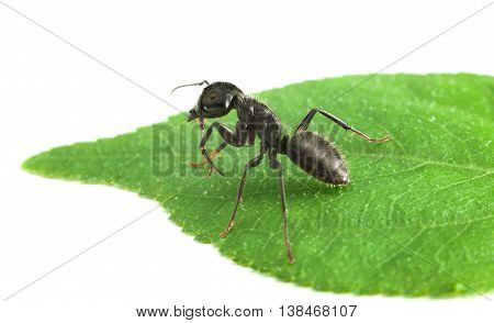 Big black ant on green leaf isolated on white background