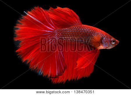 Red haft moon long tail Betta fish or Siamese fighting fish photo in flash studio lighting.