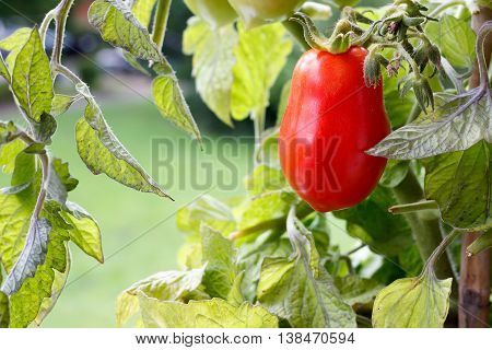 Elongated Red Carnica Tomato Hanging On Vine Closeup