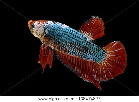 Gian dragon Betta fish or Siamese fighting fish photo in flash studio lighting.