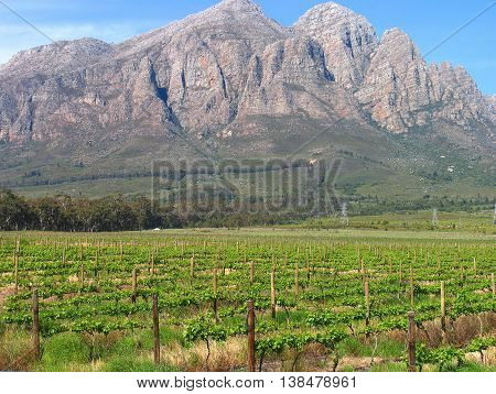 Grape Farm, With Mountain In Back Ground, Ceres, Western Cape South Africa 27