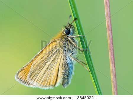 Essex skipper (Thymelicus lineola) at rest on grass. Butterfly in the family Hesperiidae with underside of wings visible