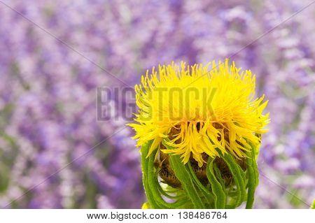 Macro of a giant knapweed - Centaurea macrocephala