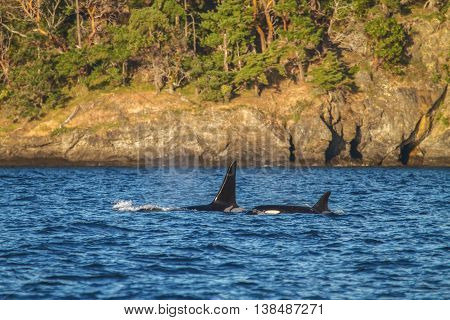 Orca Family In Sea And Ocean Close To Juneau In Alaska