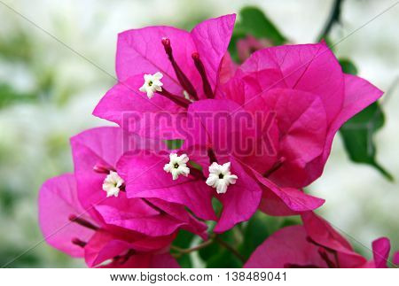 Red Flowers and bracts of bougainvillea liana