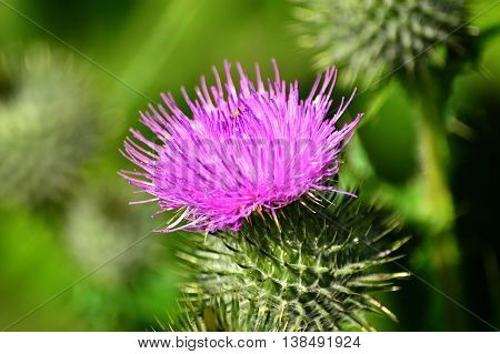 Close-up of mauve thistle flower, with it''s prickly leaves