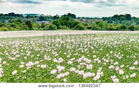 Opium poppies grown in a residential area. Houses blur to protect privacy. Fields of poppies grown for the health market for the use of morphine poster