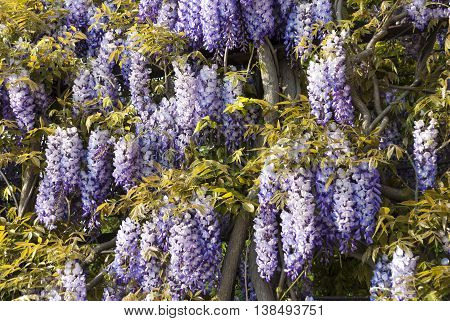 Wisteria sinensis or Chinese Wisteria can have blue white or purple flowers. The plant is a vine but it can be trained in a tree like form. It blooms in spring and the flowers are fragrant.