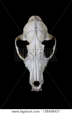 Close up of a fox skull on black background