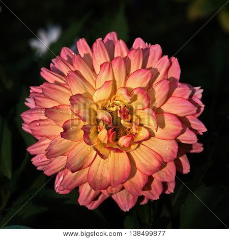 Dahlia.  Lodz, Poland - September 04, 2015 Pink Dahlia blooming garden on a small housing estate in Lodz.