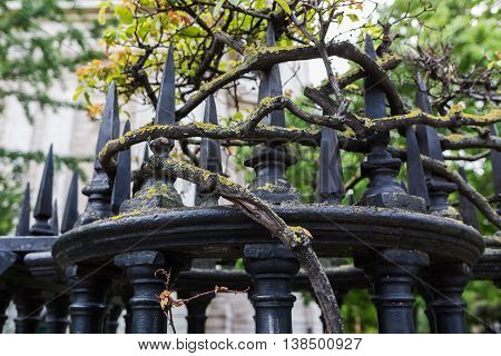 Gnarled Branches Of A Rose At A Fence