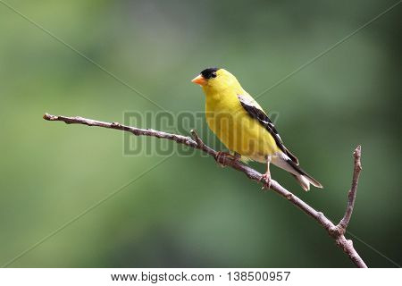 A bright yellow male Goldfinch (Carduelis tristis) perching on a branch in summer.