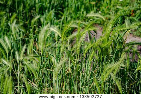 The shallow grass , Fresh grass in Germany