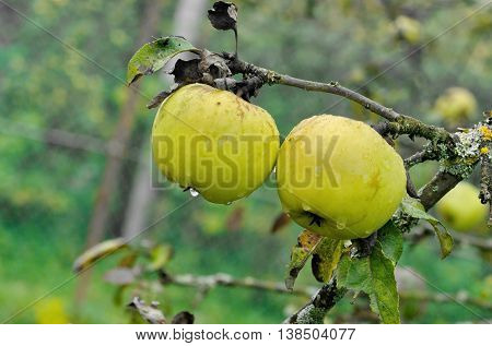apple tree twig with ripe yellow apples