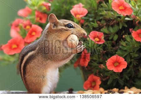Cute Eastern Chipmunk with peanut in mouth standing in from of petunia flowers
